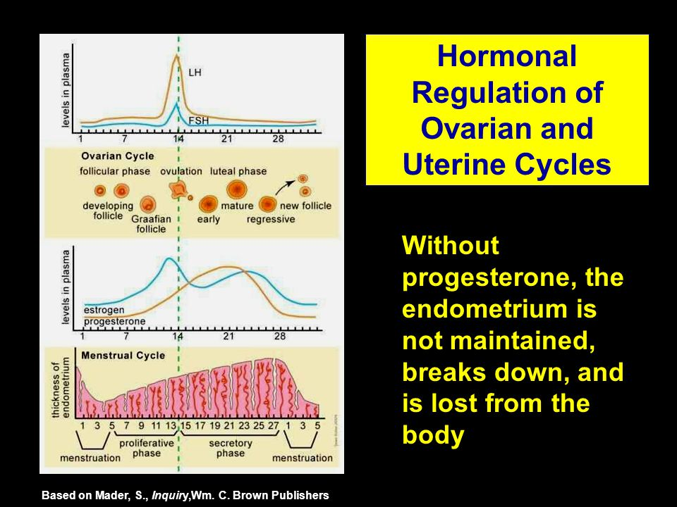 Without progesterone, the endometrium is not maintained, breaks down, and is lost from the body Hormonal Regulation of Ovarian and Uterine Cycles Base