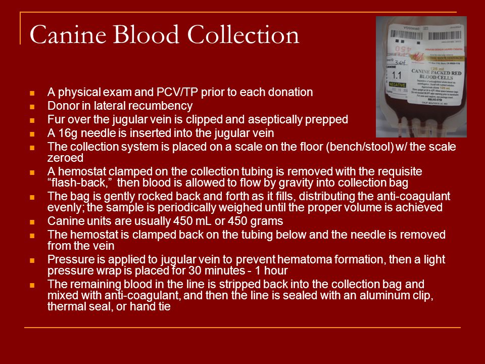 Canine Blood Collection A physical exam and PCV/TP prior to each donation Donor in lateral recumbency Fur over the jugular vein is clipped and aseptic
