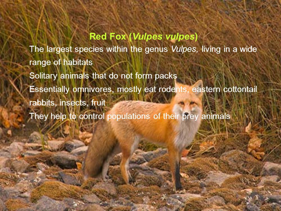 Red Fox (Vulpes vulpes) The largest species within the genus Vulpes, living in a wide range of habitats Solitary animals that do not form packs Essentially omnivores, mostly eat rodents, eastern cottontail rabbits, insects, fruit They help to control populations of their prey animals