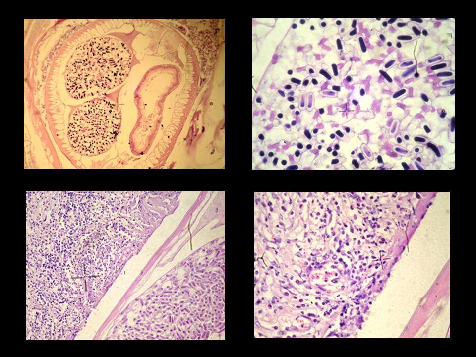 Spirocerca lupi Order: Spirurida Family: Spirocercidae Male: 3-5.4 cm Female: 5.4-8 cm Cosmopolitan Lesions: esophageal or gastric granulomas, aortic scars and aneurysms