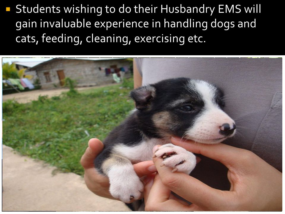 Students wishing to do their Husbandry EMS will gain invaluable experience in handling dogs and cats, feeding, cleaning, exercising etc.