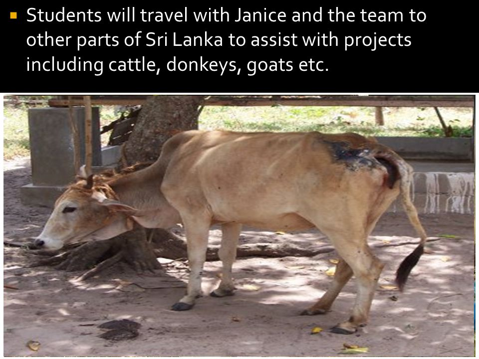 Students will travel with Janice and the team to other parts of Sri Lanka to assist with projects including cattle, donkeys, goats etc.