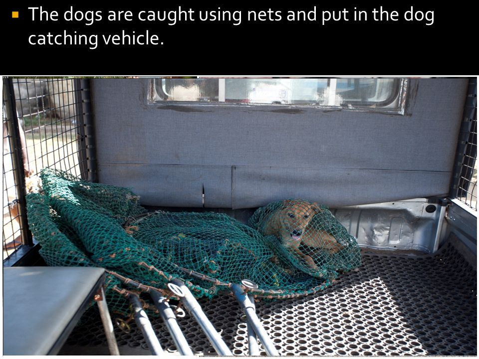 The dogs are caught using nets and put in the dog catching vehicle.
