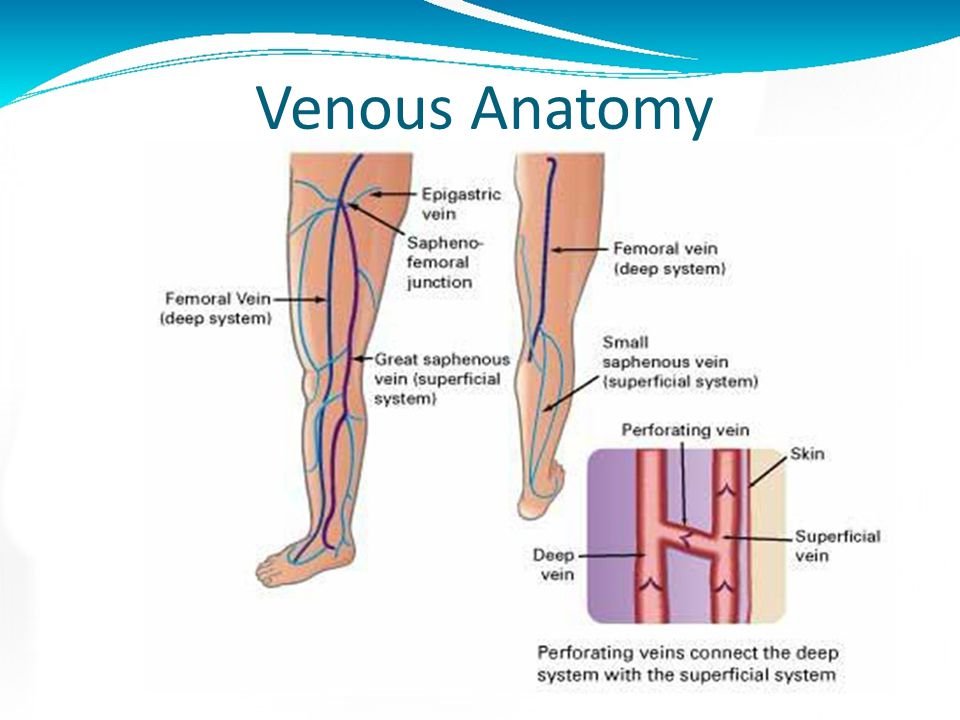 Anatomy and physiology of the venous system Deep venous system: the channel through which 90% of venous blood is pumped out of the legs Superficial ve