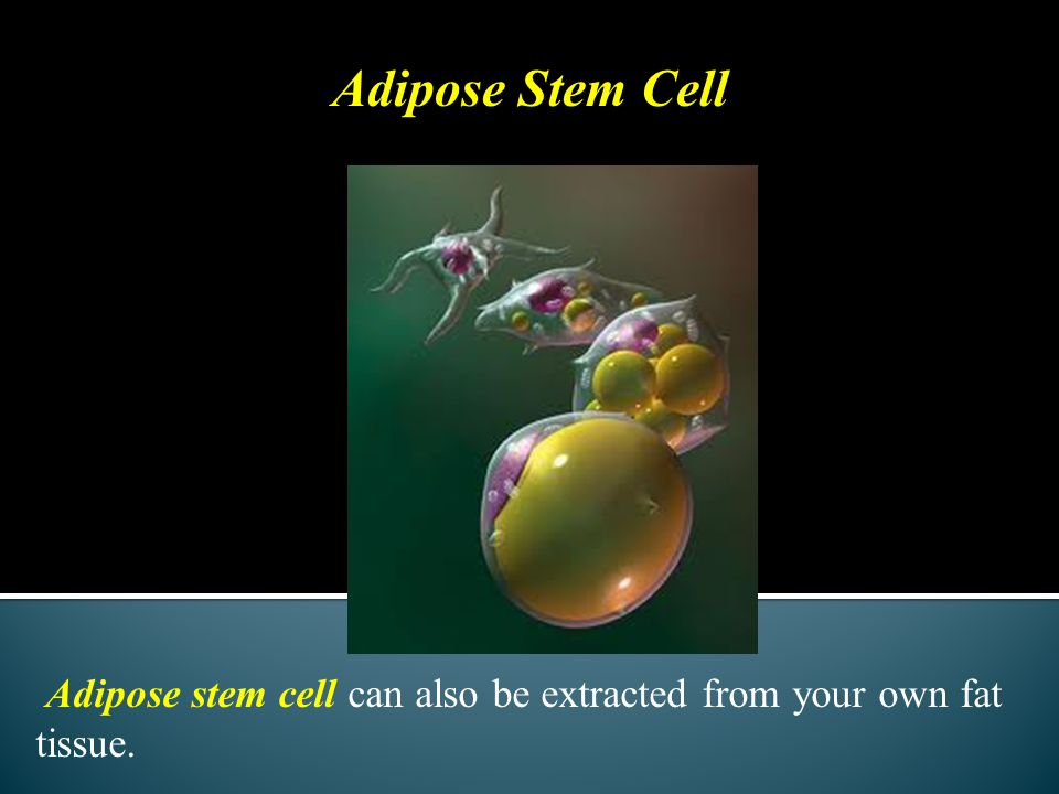 Adipose Stem Cell Adipose stem cell can also be extracted from your own fat tissue.
