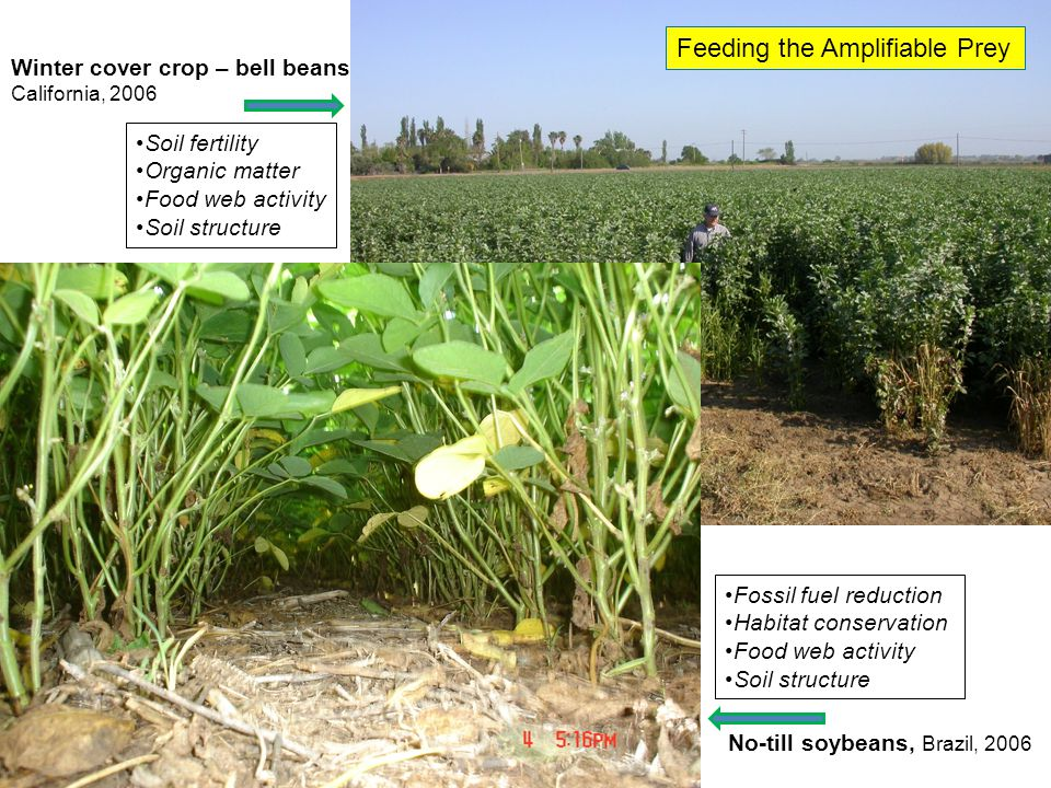 Winter cover crop – bell beans California, 2006 No-till soybeans, Brazil, 2006 Soil fertility Organic matter Food web activity Soil structure Fossil fuel reduction Habitat conservation Food web activity Soil structure Feeding the Amplifiable Prey