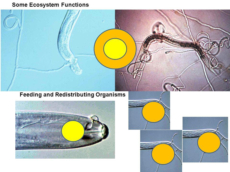 Distribution of organisms to new resources bacteria and bacterivore nematodes 0 nematodes Fu et al.