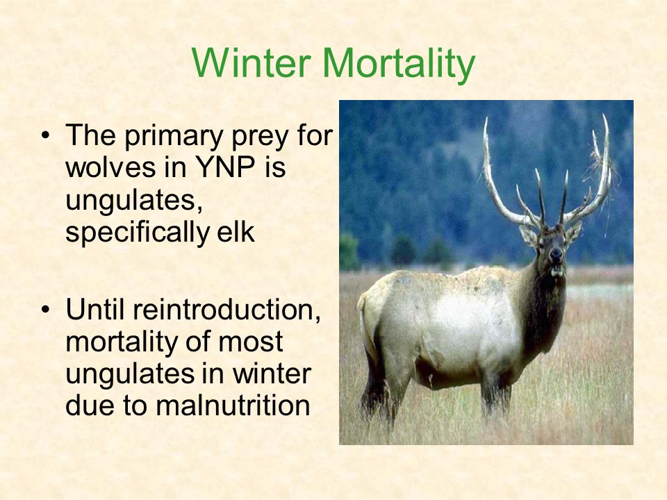 Winter Mortality The primary prey for wolves in YNP is ungulates, specifically elk Until reintroduction, mortality of most ungulates in winter due to malnutrition