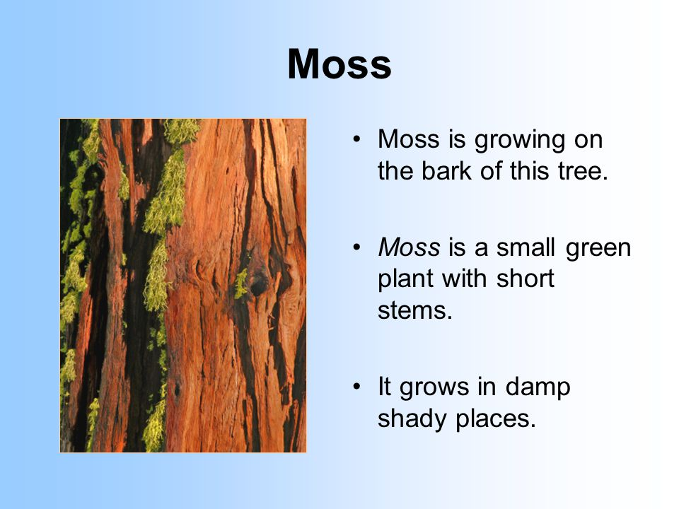 Moss Moss is growing on the bark of this tree. Moss is a small green plant with short stems.