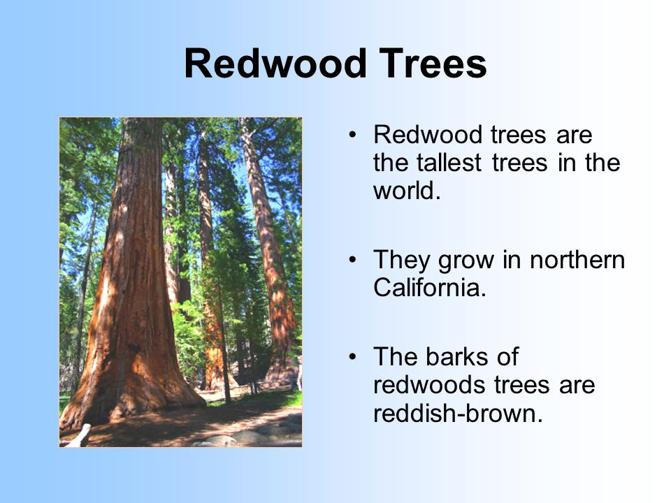 Redwood Trees Redwood trees are the tallest trees in the world.