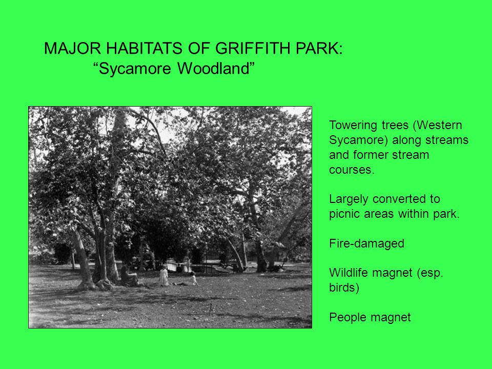 MAJOR HABITATS OF GRIFFITH PARK: Sycamore Woodland Towering trees (Western Sycamore) along streams and former stream courses.