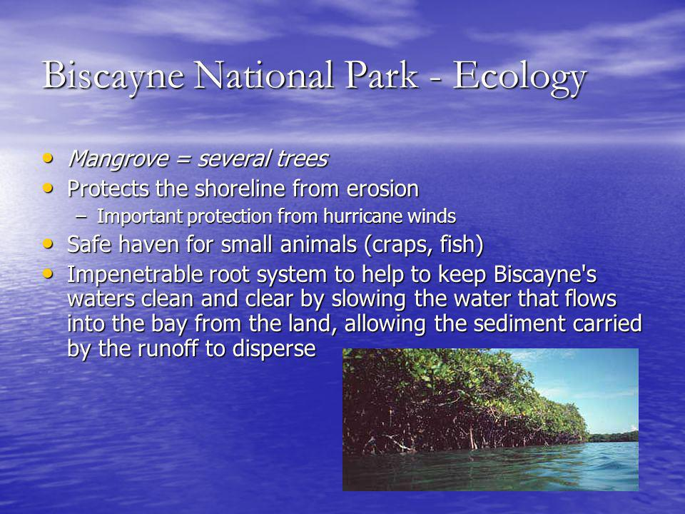 Biscayne National Park - Ecology Mangrove = several trees Mangrove = several trees Protects the shoreline from erosion Protects the shoreline from erosion –Important protection from hurricane winds Safe haven for small animals (craps, fish) Safe haven for small animals (craps, fish) Impenetrable root system to help to keep Biscayne s waters clean and clear by slowing the water that flows into the bay from the land, allowing the sediment carried by the runoff to disperse Impenetrable root system to help to keep Biscayne s waters clean and clear by slowing the water that flows into the bay from the land, allowing the sediment carried by the runoff to disperse