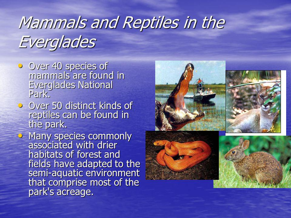 Mammals and Reptiles in the Everglades Over 40 species of mammals are found in Everglades National Park.