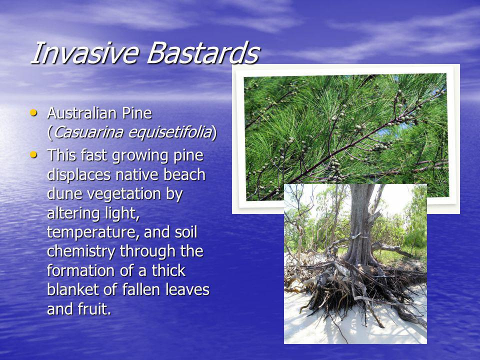 Invasive Bastards Australian Pine (Casuarina equisetifolia) Australian Pine (Casuarina equisetifolia) This fast growing pine displaces native beach dune vegetation by altering light, temperature, and soil chemistry through the formation of a thick blanket of fallen leaves and fruit.