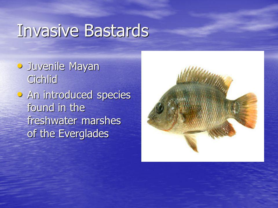 Invasive Bastards Juvenile Mayan Cichlid Juvenile Mayan Cichlid An introduced species found in the freshwater marshes of the Everglades An introduced species found in the freshwater marshes of the Everglades