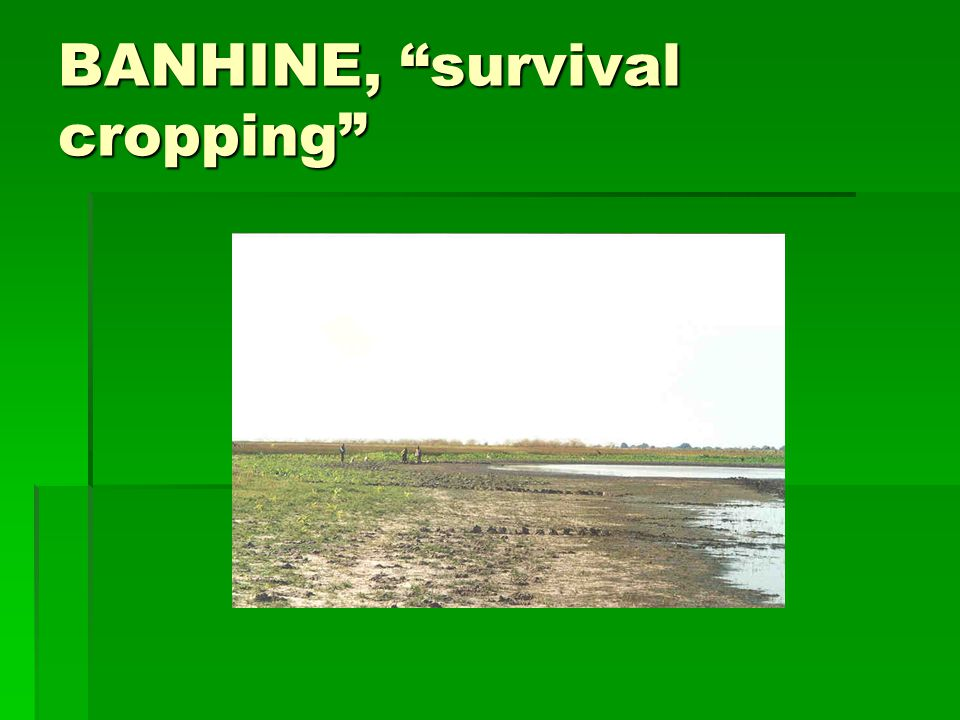 BANHINE, survival cropping