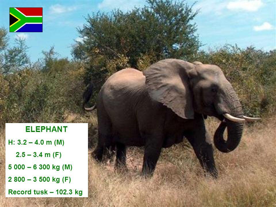ELEPHANT H: 3.2 – 4.0 m (M) 2.5 – 3.4 m (F) 5 000 – 6 300 kg (M) 2 800 – 3 500 kg (F) Record tusk – 102.3 kg