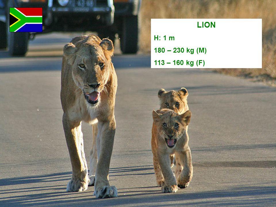 LION H: 1 m 180 – 230 kg (M) 113 – 160 kg (F)