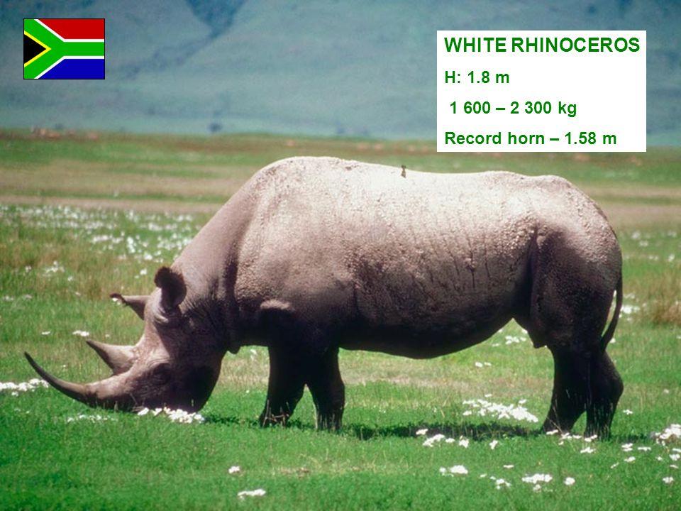 WHITE RHINOCEROS H: 1.8 m 1 600 – 2 300 kg Record horn – 1.58 m