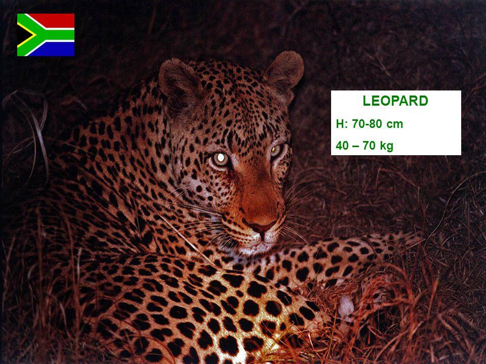 LEOPARD H: 70-80 cm 40 – 70 kg