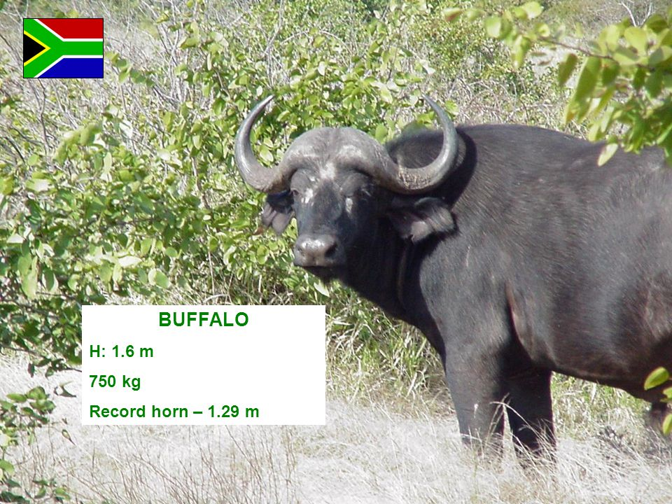 BUFFALO H: 1.6 m 750 kg Record horn – 1.29 m