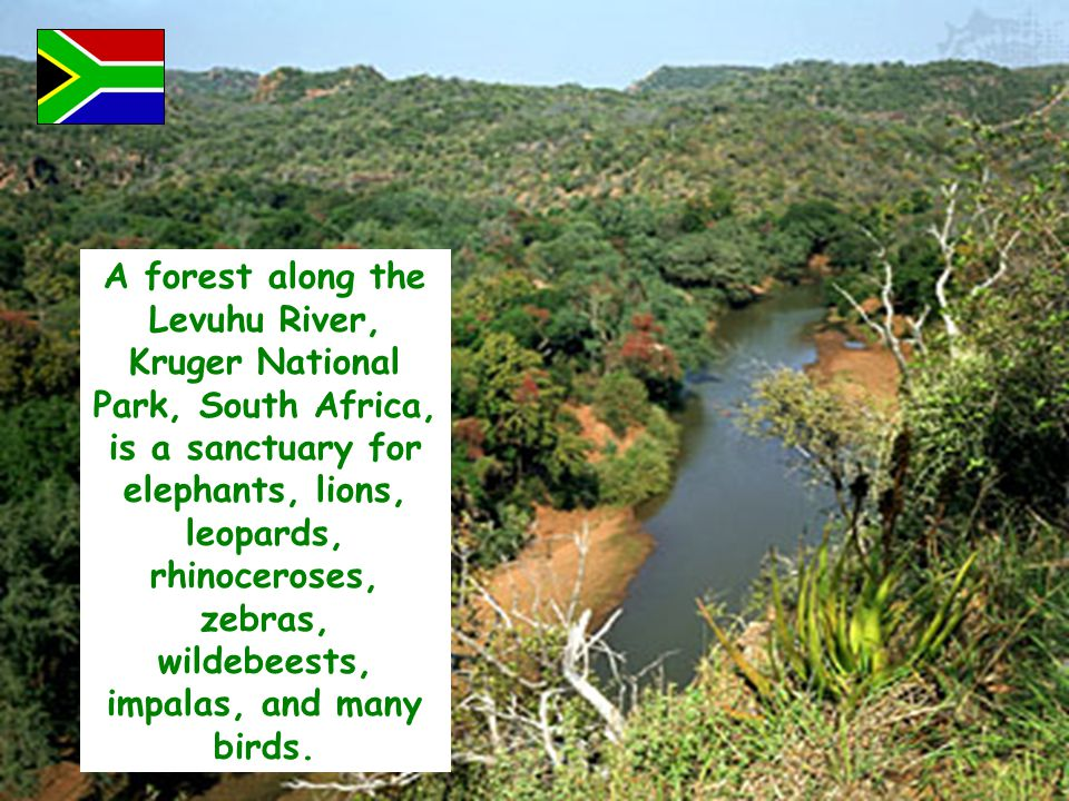 A forest along the Levuhu River, Kruger National Park, South Africa, is a sanctuary for elephants, lions, leopards, rhinoceroses, zebras, wildebeests,