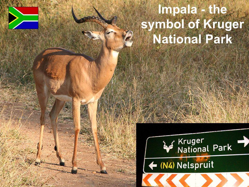 Impala - the symbol of Kruger National Park