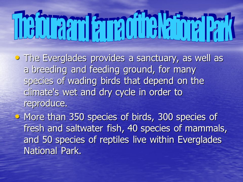 The Everglades provides a sanctuary, as well as a breeding and feeding ground, for many species of wading birds that depend on the climate s wet and dry cycle in order to reproduce.