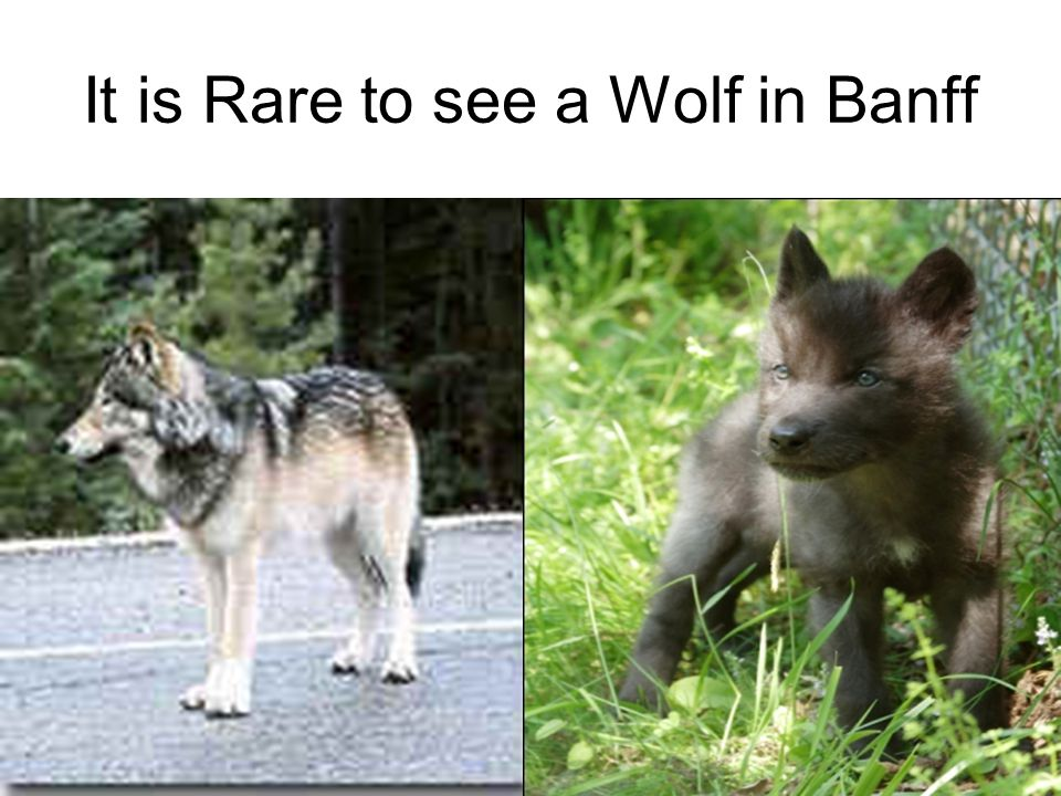 It is Rare to see a Wolf in Banff