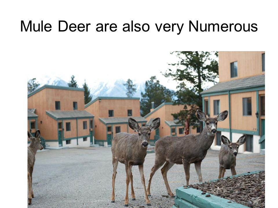 Mule Deer are also very Numerous