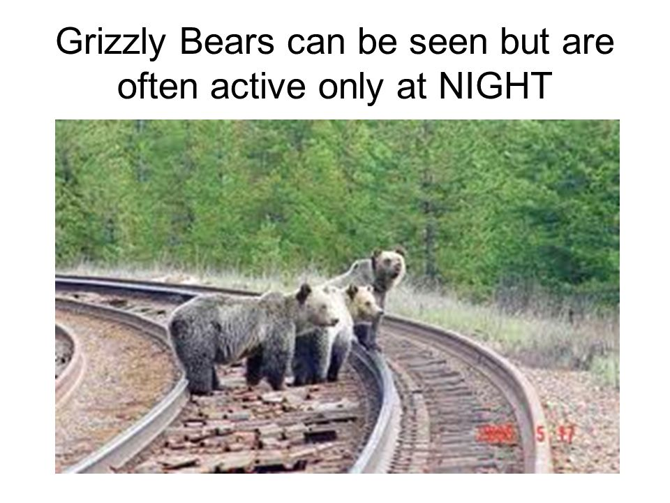 Grizzly Bears can be seen but are often active only at NIGHT