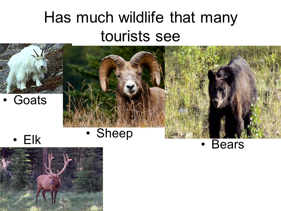 Has much wildlife that many tourists see Goats Sheep Bears Elk