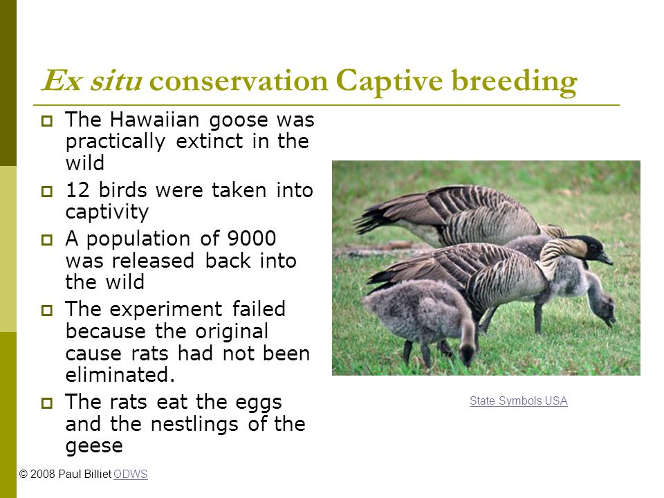 Ex situ conservation Captive breeding The Hawaiian goose was practically extinct in the wild 12 birds were taken into captivity A population of 9000 was released back into the wild The experiment failed because the original cause rats had not been eliminated.