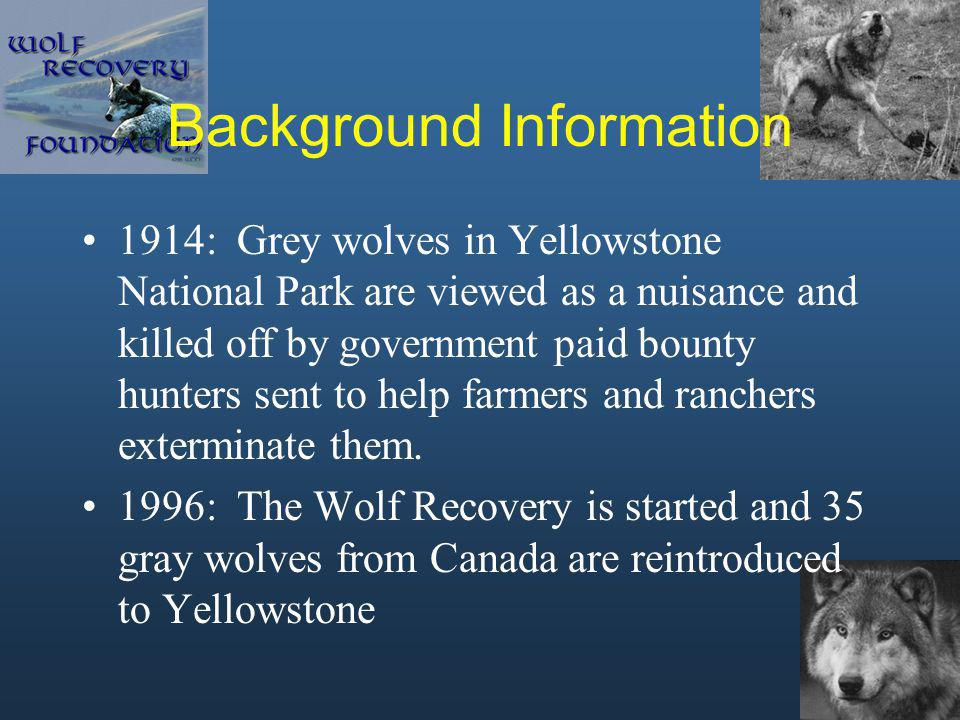 Background Information 1914: Grey wolves in Yellowstone National Park are viewed as a nuisance and killed off by government paid bounty hunters sent t