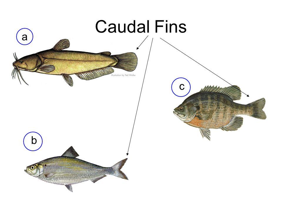 Caudal Fins a b c