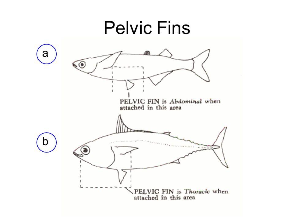 Pelvic Fins a b