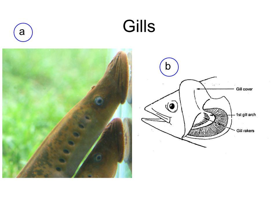Gills a b
