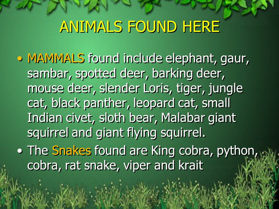 ANIMALS FOUND HERE MAMMALS found include elephant, gaur, sambar, spotted deer, barking deer, mouse deer, slender Loris, tiger, jungle cat, black panther, leopard cat, small Indian civet, sloth bear, Malabar giant squirrel and giant flying squirrel.