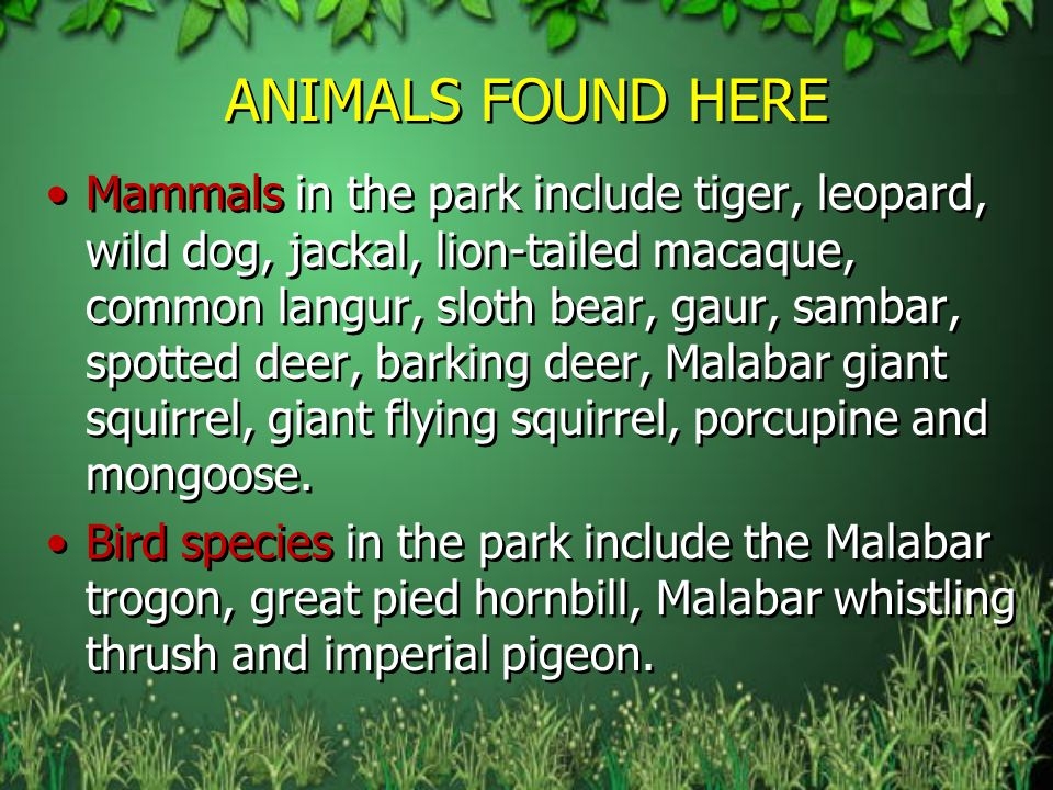 ANIMALS FOUND HERE Mammals in the park include tiger, leopard, wild dog, jackal, lion-tailed macaque, common langur, sloth bear, gaur, sambar, spotted deer, barking deer, Malabar giant squirrel, giant flying squirrel, porcupine and mongoose.