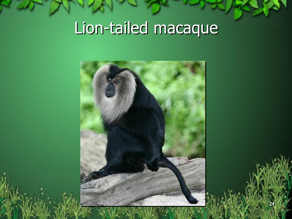 Lion-tailed macaque 24