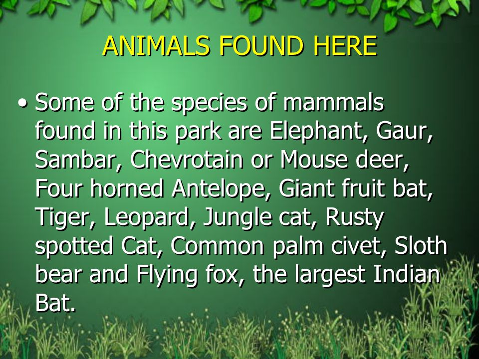ANIMALS FOUND HERE Some of the species of mammals found in this park are Elephant, Gaur, Sambar, Chevrotain or Mouse deer, Four horned Antelope, Giant fruit bat, Tiger, Leopard, Jungle cat, Rusty spotted Cat, Common palm civet, Sloth bear and Flying fox, the largest Indian Bat.