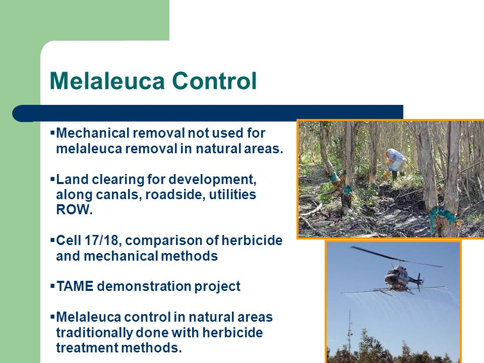 Melaleuca Control Mechanical removal not used for melaleuca removal in natural areas. Land clearing for development, along canals, roadside, utilities