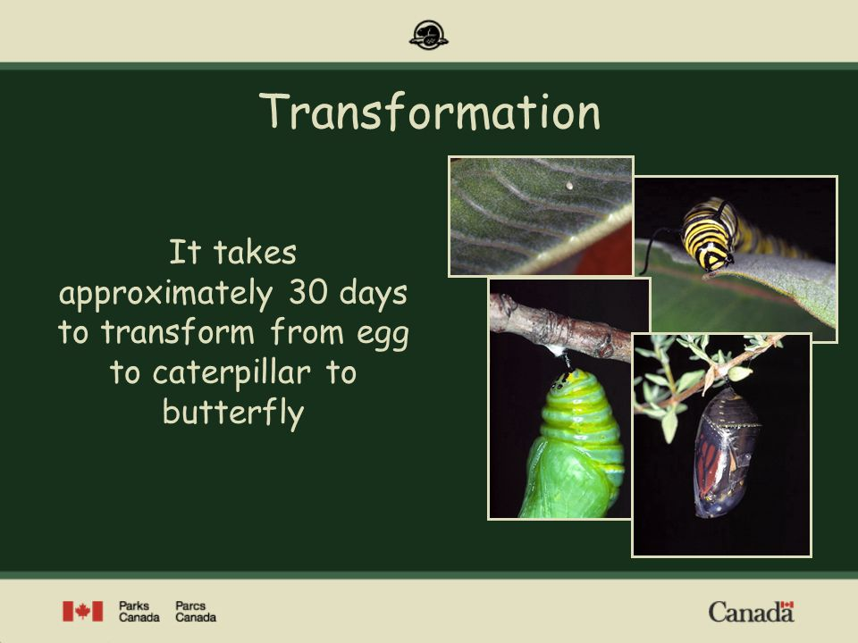 Transformation It takes approximately 30 days to transform from egg to caterpillar to butterfly