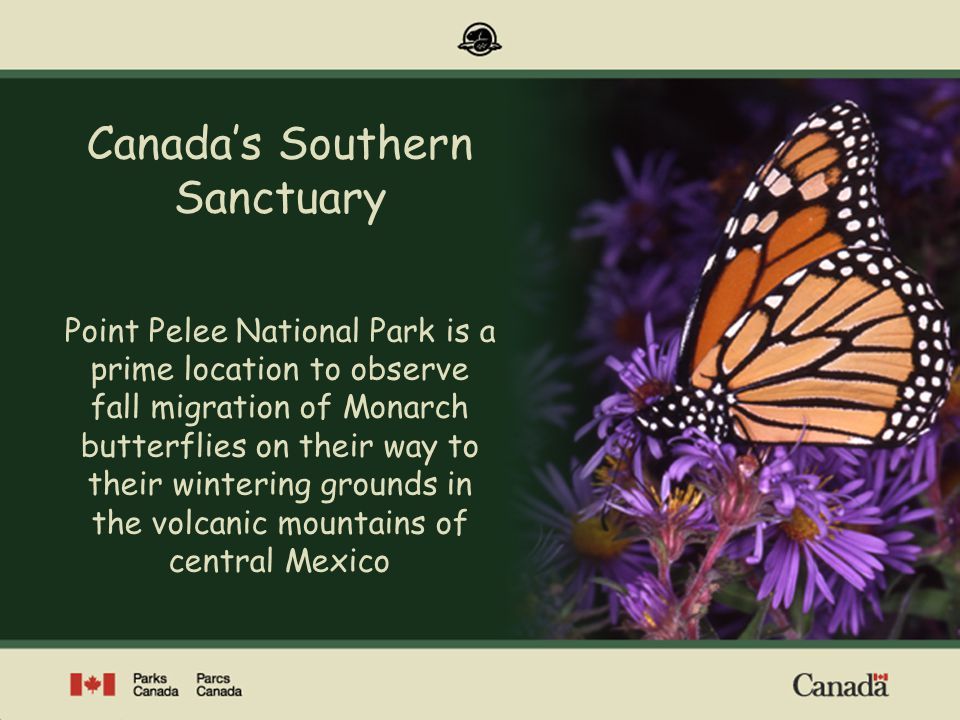 Point Pelee National Park of Canada Canadas Southern Sanctuary Point Pelee National Park is a prime location to observe fall migration of Monarch butt