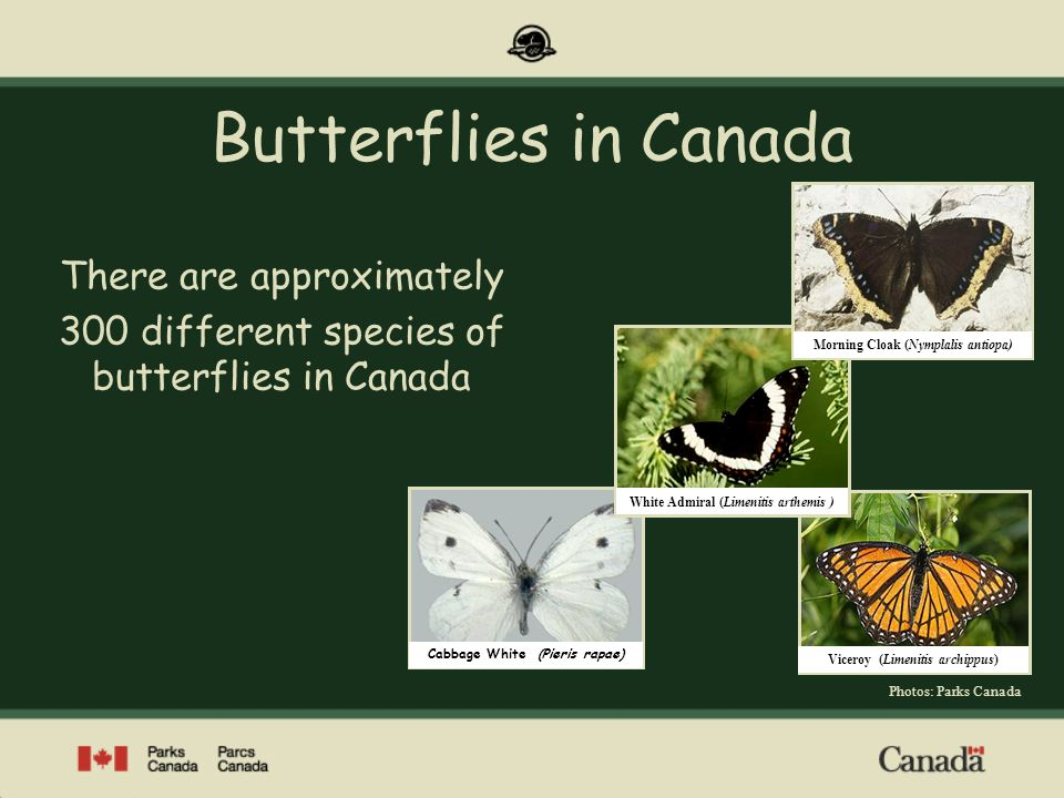 Cabbage White (Pieris rapae) Viceroy (Limenitis archippus) White Admiral (Limenitis arthemis ) Butterflies in Canada There are approximately 300 diffe