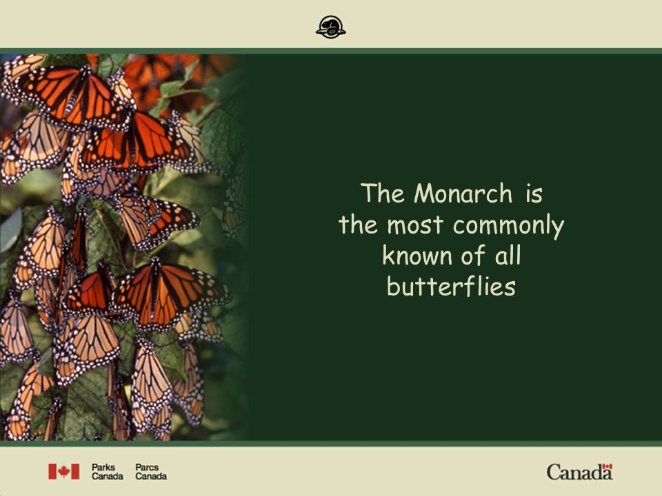 Range of Monarchs in Canada (all stages of the life cycle) Western Population Erratically, common Rarely Scarce Occur regularly Southern ON & QC annually, often in abundance Maritimes occur irregularly Eastern Population Canadian Range Map: J.