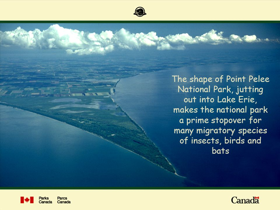 The shape of Point Pelee National Park, jutting out into Lake Erie, makes the national park a prime stopover for many migratory species of insects, bi
