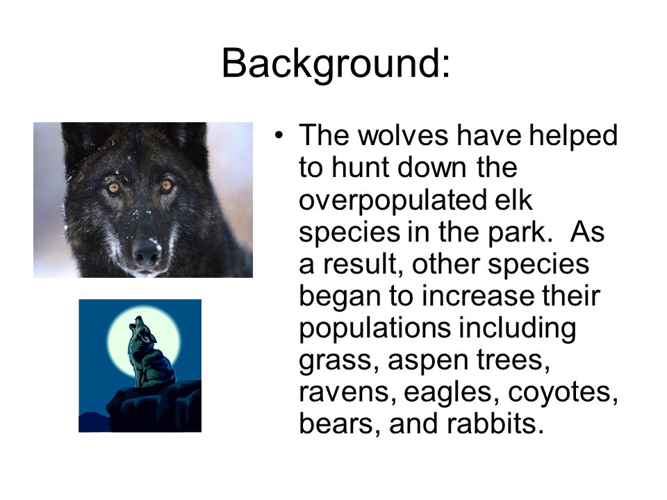 Background: The wolves have helped to hunt down the overpopulated elk species in the park.