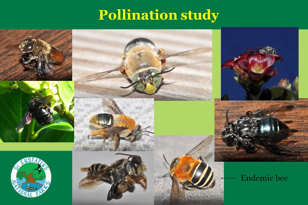Pollination study Endemic bee