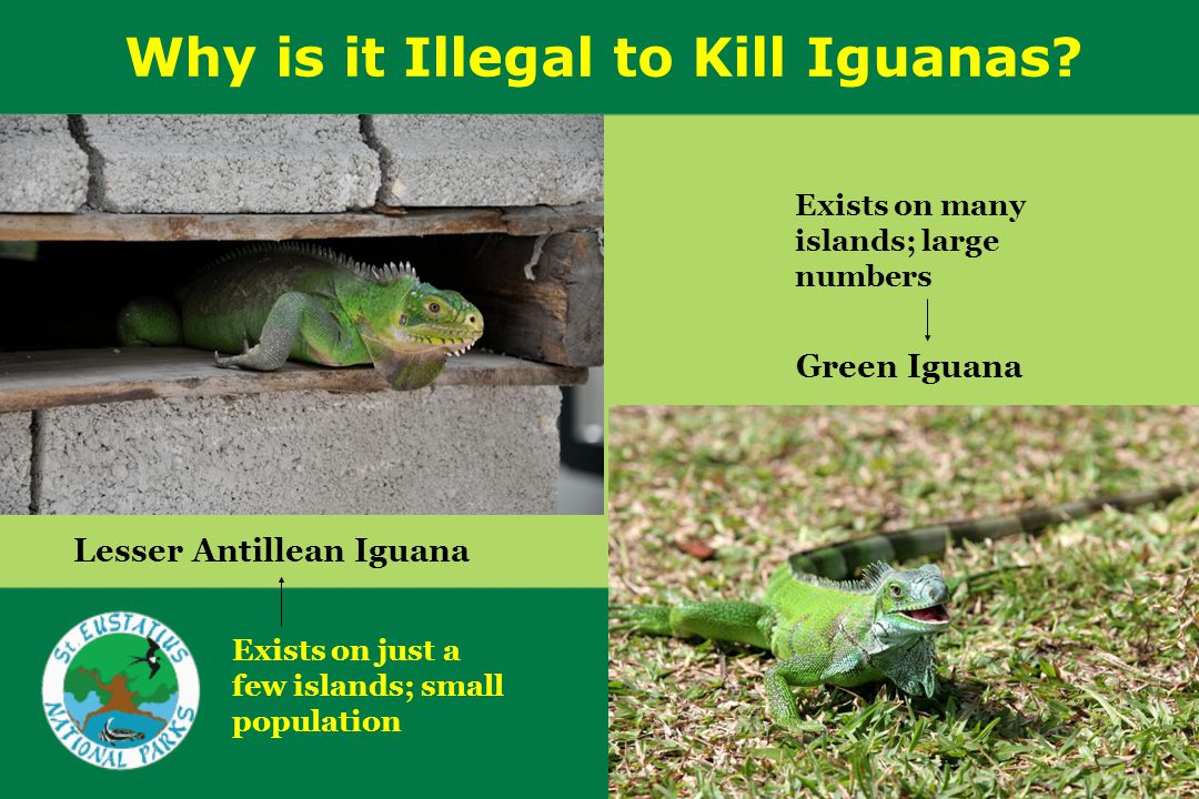 Why is it Illegal to Kill Iguanas.